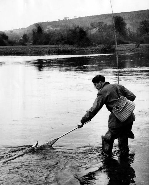 A fisherman nets his catch from the River Suir, at Cappuk-on- Suir, County Tipperary, Ireland. Date: 1960s