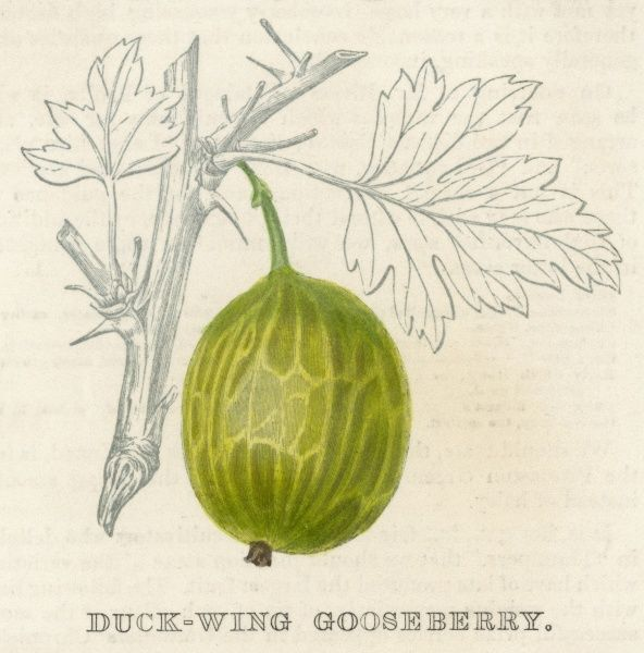 A Duck-wing gooseberry