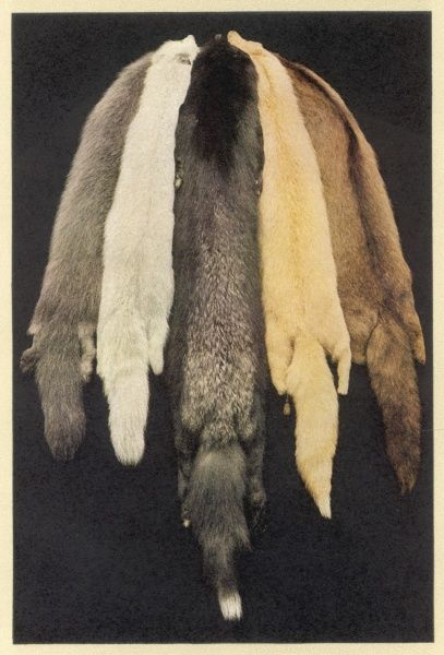 Five furs, possibly minks, for use in the fashion houses of the world