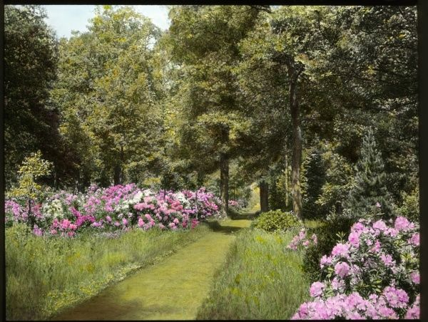 View of the gardens at Aldenham House, near Borehamwood, Hertfordshire, with pink and white rhododendrons (a flowering plant of the Ericaceae family), growing on either side of a grassy pathway