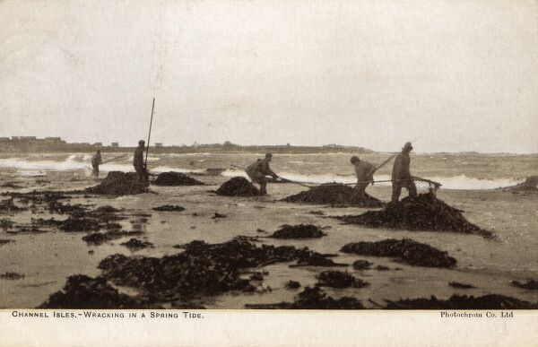 Gathering seaweed ('wracking') for use as fertilizer at a low spring tide - Channel Islands Date: 1907