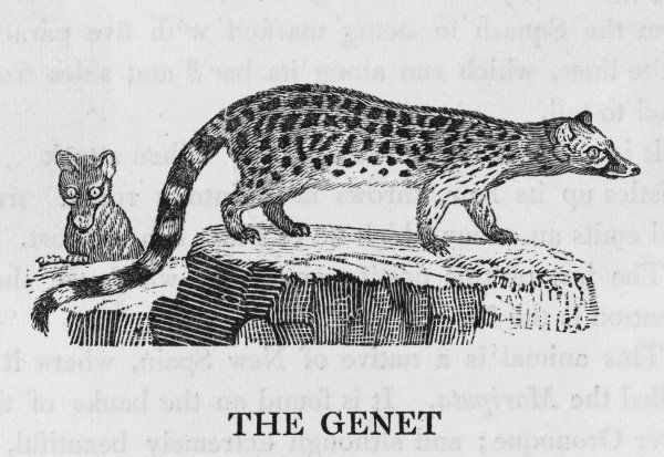Viverra genetta. This is a kind of civet-cat found in the south of France, though I have yet to see one there