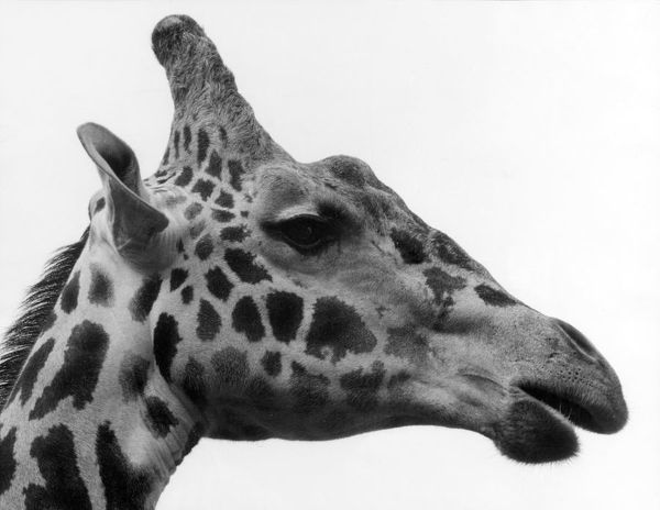 The head of 'George' the giraffe, Chester Zoo, Cheshire, England. Date: 1960s
