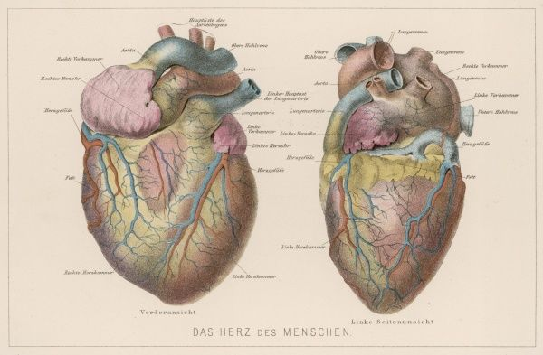 Two views of the heart, with the parts labelled in German