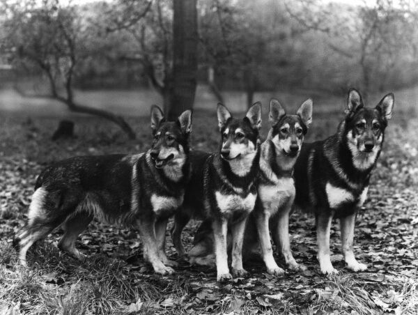 A group of Kentwood Alsatians owned by Godden. Date: 1960