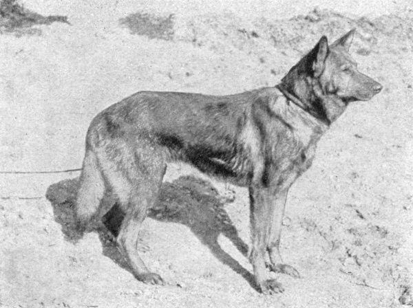'Hektor Linksrhein', known as 'Horand von Grafrath', founder of a notable German Shepherd strain