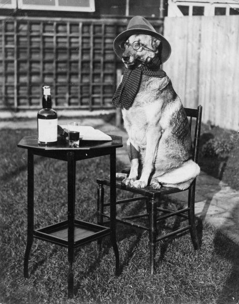 The talented German Shepherd of Mrs. L. Goodwin of All Saints Avenue, Margate, drinks, smokes and wears clothes. Date: early 1930s