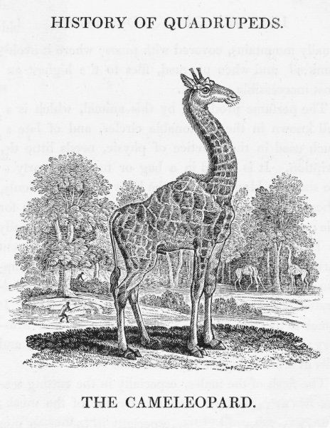giraffa camelopardalis 'The Cameleopard' as it is known in Bewick's day is the world's tallest animal, standing over 5.5m tall. The okapi is a relative