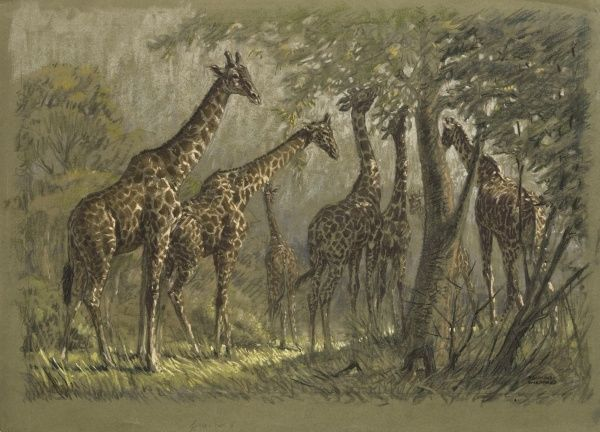 Giraffes feeding amongst the trees. Pastel sketch by Raymond Sheppard