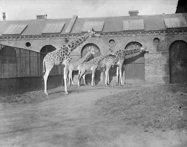 A family of giraffes at London Zoo. Date: early 1930s