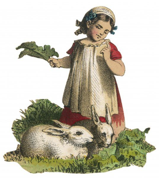 A girl feeds her pet rabbits with cabbage leaves