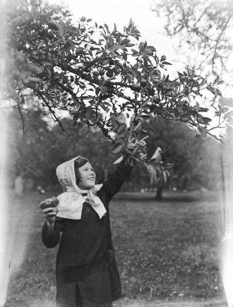 A little girl picking apples in a Devonshire orchard, England