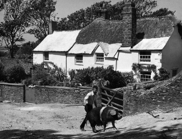 A young man goads a sow with a stick, past a pictureque part thatched farmhouse, Galmpton, Devon, England. Date: 1950s