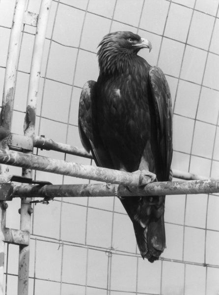 A Golden Eagle. Date: 1960s