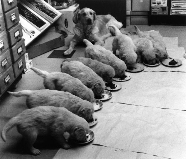 Nine golden retriever puppies eating from plates on the floor Date: 1960s