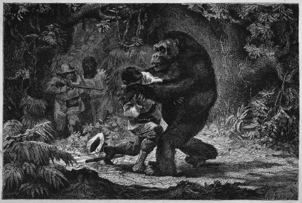 The gorilla does not go out of its way to attack men: but if it is itself attacked, it is a formidable foe. Date: 1870