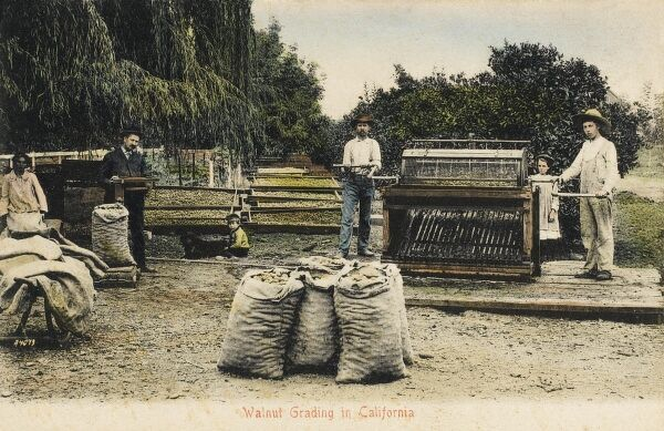 Grading Walnuts with a grading machine - California, USA