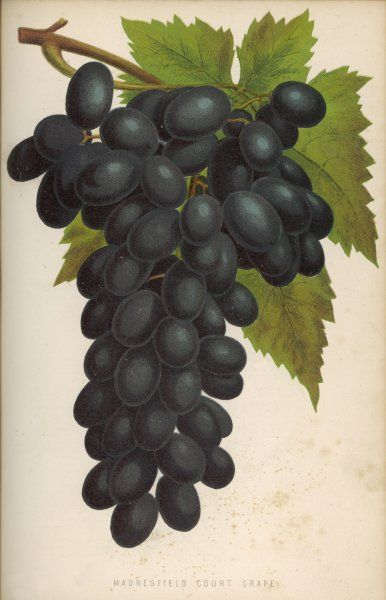 Black grapes of the Madresfield Court variety