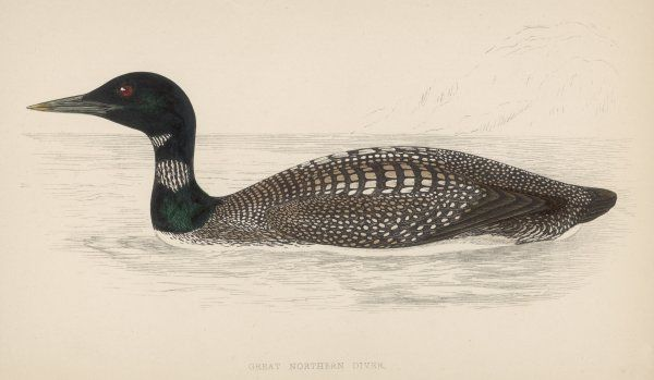 GREAT NORTHERN DIVER (Colymbus glacialis) also known as the Immer- or Ember-Goose