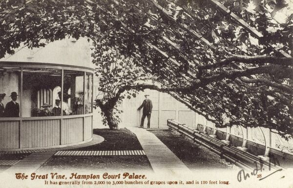 The Great Vine, Hampton Court Palace - according to the caption on this postacrd, the vine generally has 2-3000 bunches of grapes upon it and is 110 feet long! Date: 1908