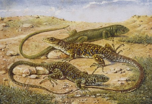 Green lizards are found in the south of England, ocellated lizards are restricted to southern Europe and north Africa. Date: 1901