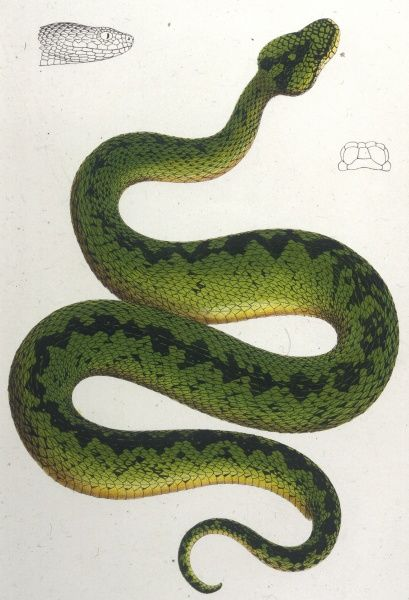 Atheris Woosnami From the Viper family