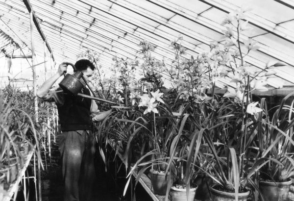 Watering orchids in the Cymbidium House of the Black and Flory Nursery, Slough, Buckinghamshire, England. Date: 1950s