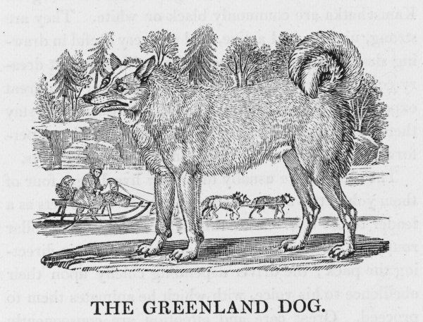 Buffon classifies it as 'Chien de Sibirie' and Bewick admits that the Greenland Dog is somewhat similar to the native dogs of Siberia, Lapland and Iceland