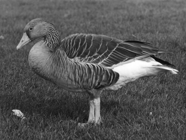 A Grey-lag goose - Tribe Anserini, at Slimbridge Wild Fowl Trust, Gloucestershire, England. Date: 1960s