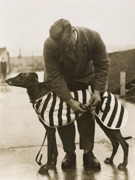 A trainer at Wembley fastens a winter overcoat on a greyhound