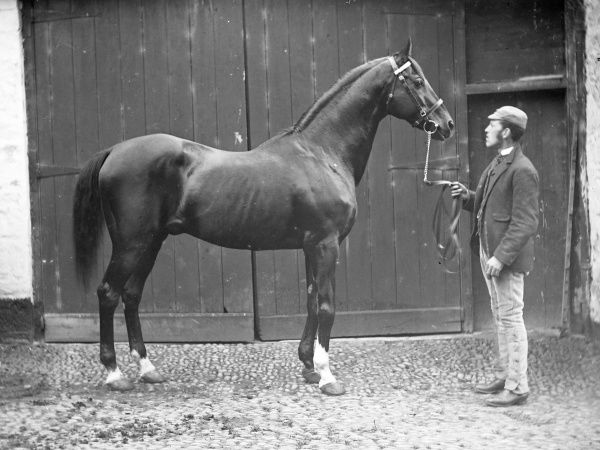 A groom with a magnificent stallion in a cobbled area in front of stable doors, probably somewhere in Mid Wales