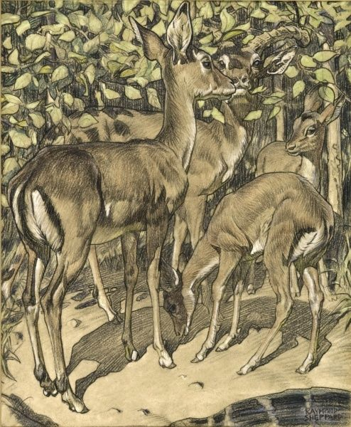 A group of Deer amongst foliage. Painting by Raymond Sheppard