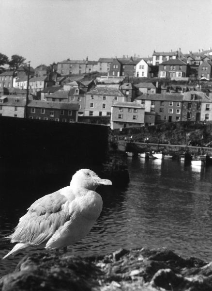 A gull in Cornwall, with fishermen's cottages as a background. Date: early 1950s