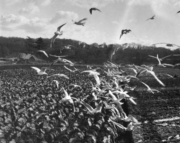 Seagulls swoop on a newly ploughed field in the hope of finding food
