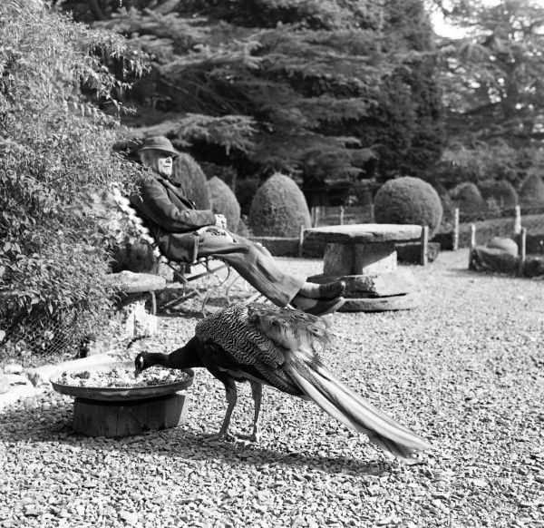 Gwydir Castle - a peacock has a peck at a tray of seeds while the oblivious gardener (possibly having forty winks!) has a seat in the sun a little furher along the gravel path. Photograph by Norman Synge Waller Budd