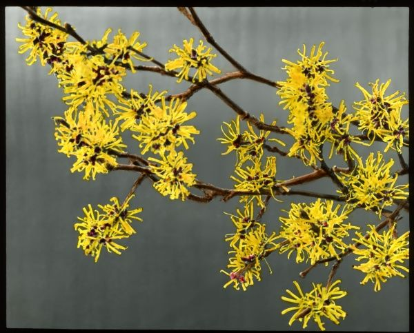 Hamemalis (or Hamamelis) Mollis (Witch Hazel), a large shrub or small tree of the Hamamelidaceae family, native to areas of China. It flowers from late winter to early spring, and the yellow flowers have a strong scent