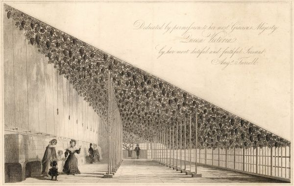 Hampton Court: the great vine, planted in 1768