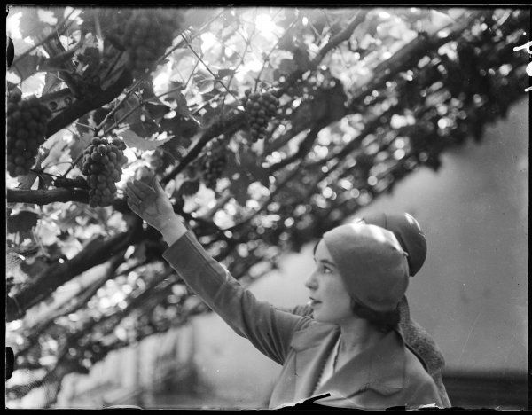 A fashionable young woman picks grapes from one of the vines at Hampton Court, England