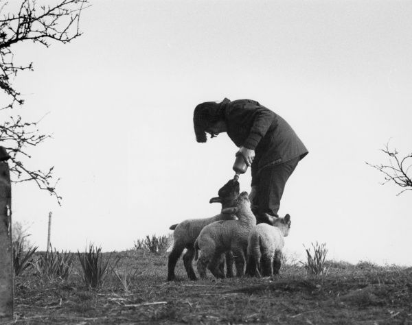 A girl hand-feeding lambs from a milk bottle during the spring lambing season