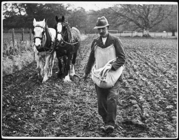 Ploughing in the seed, after hand sowing on a farm in Ireland. By the 1930s, this method had virtually vanished in the British Isles, but was still regarded as the best way