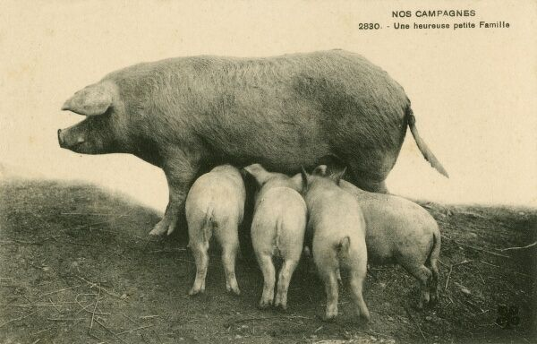 'A Happy Little family' - a Mother sow feeds her brood of piglets - France