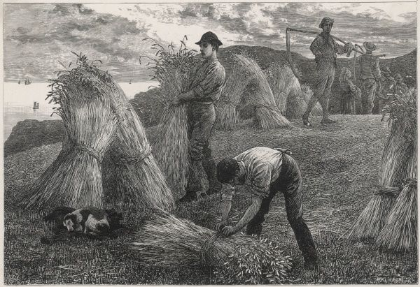 Harvesting corn by hand - binding the grain into sheaves