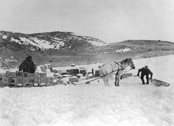 Ponies hauling stores to Shackleton's hut. Date: circa 1907