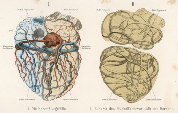 Left - the arteries and veins Right - the muscles