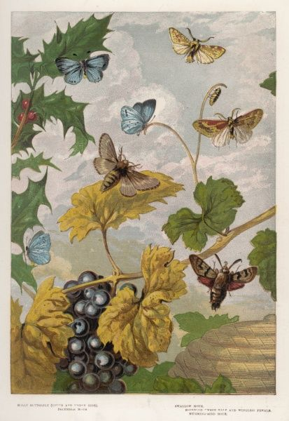 The HEATH and other English butterflies and moths