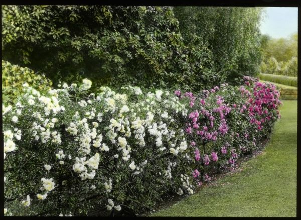 A hedge full of roses (Rosaceae family) of different colours, white, pink and red