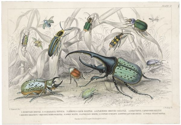 The HERCULES beetle, SCARABAEUS TITYUS and others, depicted in their natural habitat