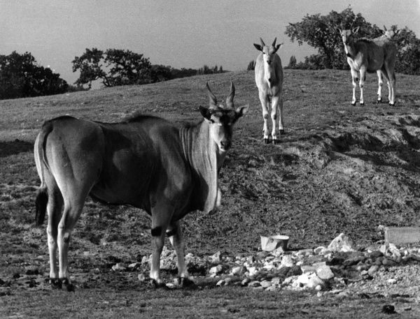 A herd of Eland at Chester Zoo, Cheshire, England. Date: 1960s