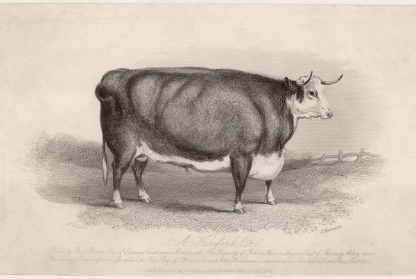 Hereford Ox bred by Paul Prosser of Monmouthshire