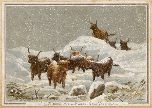 Highland cattle in the snow wish you a Happy New Year